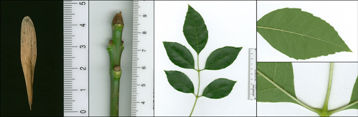 L1-hylton-tree-green-ash-leaf